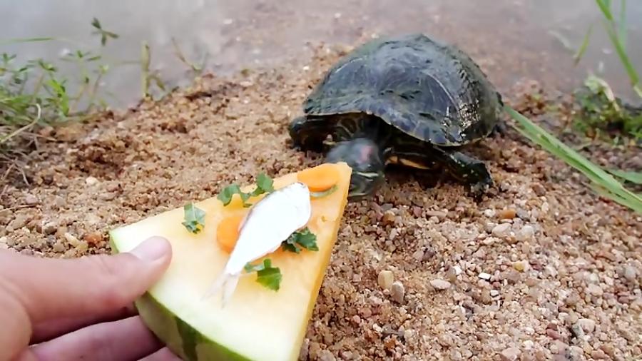 لاکپشتهایی که پیتزای هندوانه و ماهی دوست دارند!