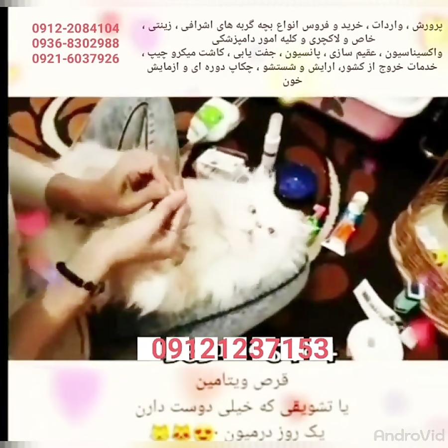 فروش گربه های اپارتمانی و زینتی و لاکچری و تربیت شده ۰۹۱۲۱۲۳۷۱۵۳