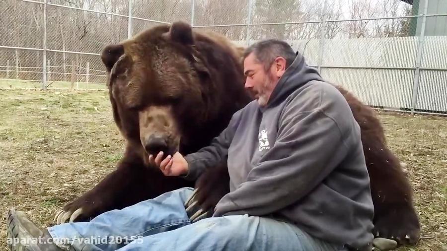 دوستی عجیب بین انسان و خرس گریزلی