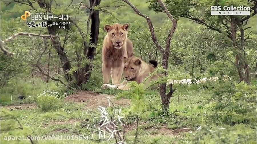 جنگ و نبرد شیر و بوفالو در حیات وحش