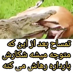 تمساح بعد اینکه فهمید شکارش باردار بیخیالش شد