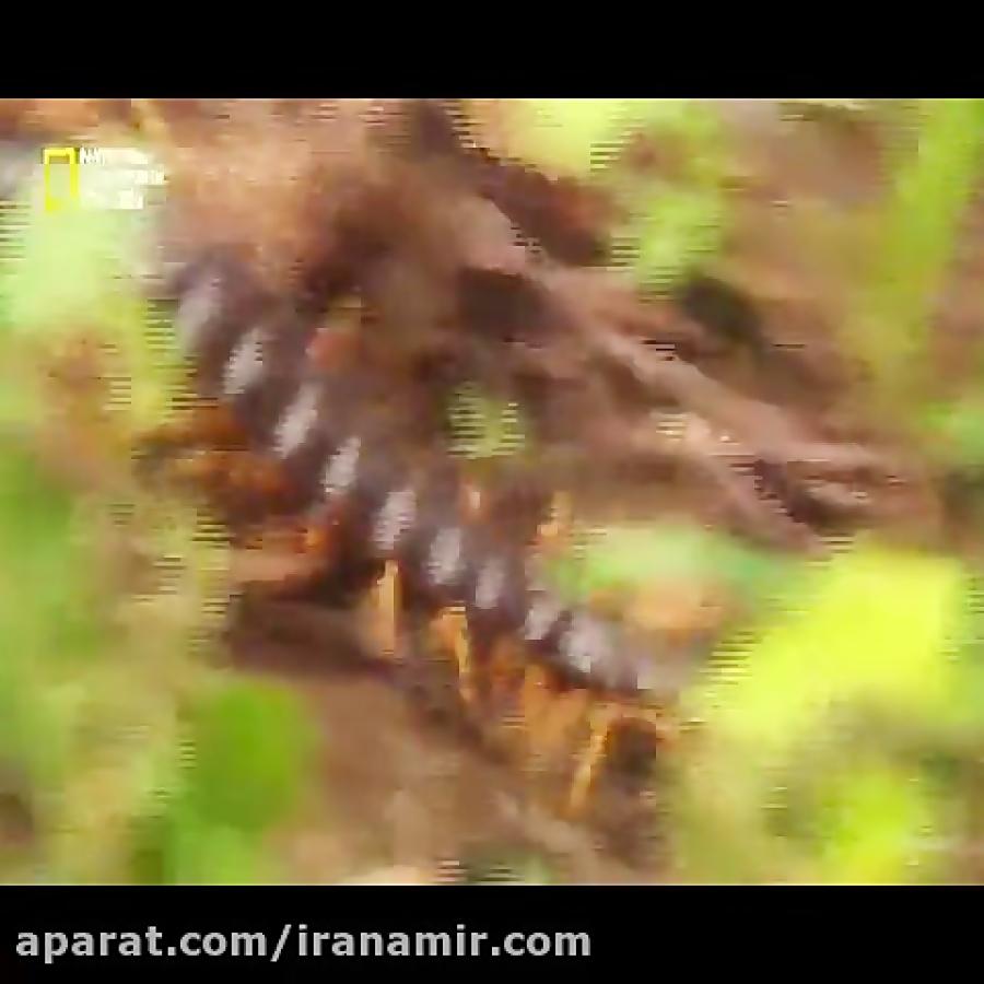 #حیات_وحش هزارپای غول پیکر در نوع خودش یکی از کشنده ترین موجودات است