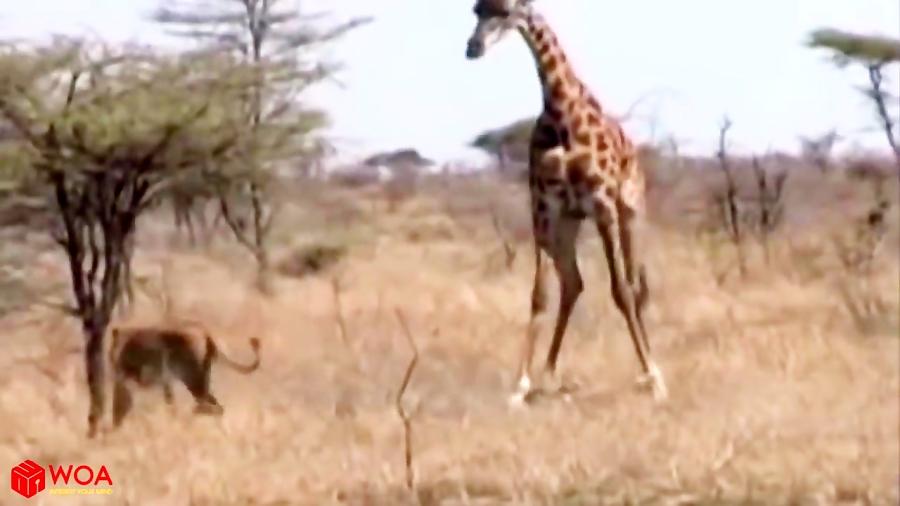 جنگ قدرتمندانه زرافه با شیرها