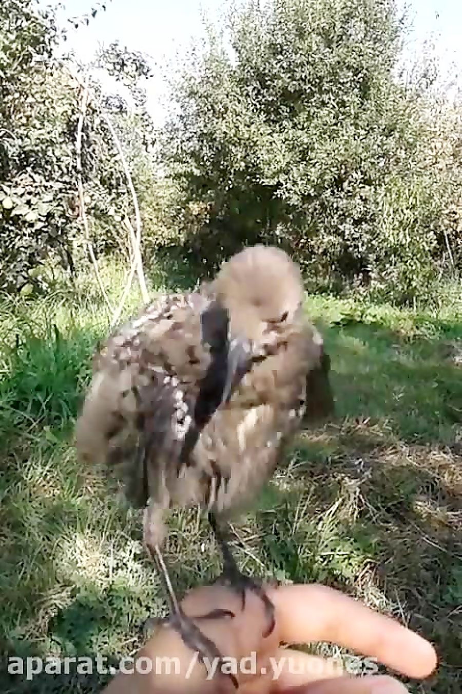 سار دست آموز و آراستن پرو بالش توی باغ(YAD)