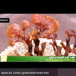 تولید گانودرما در ایرا...