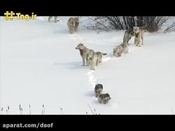 حمله ۲۵ گرگ وحشی به گاو...