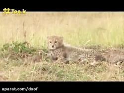 نبرد یوزپلنگ با شیر برا...