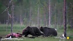 نبرد گرگ ها و خرس ها بر ...