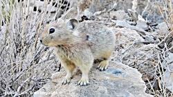 موش صحرایی پارک ملی تور...