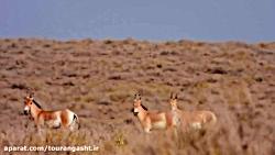 گورخر ایرانی پارک ملی ت...