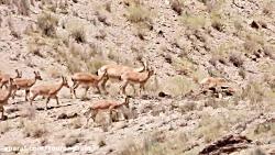 میش و بره های پارک ملی ت...