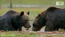 نبرد خرس ها و گرگ ها | مس...