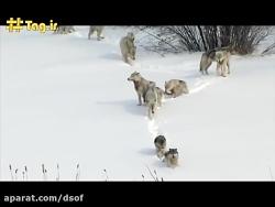 25 گرگ مقابل 1 گاومیش