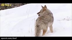 حمله بیرحمانه گرگ ها به...