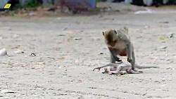 اذیت کردن بچه میمون توسط میمون دیگر