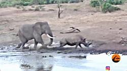 حمله فیل به کرگدن و کرگدن کوچولو
