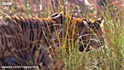 5 لحظه برتر گربه سانان در مستند های بی بی سی - گروه وگا