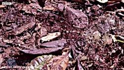 رسیدن مورچه ملکه به لانه جدید که کلا از موچه ساخته شده - گروه وگا