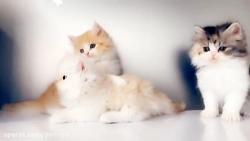 فروش+گربه+پتریتو+ +26742769+021+- +petrizo_com