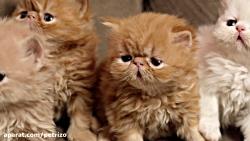 بچه+گربه+پتریتو+ +26742769+021+- +petrizo_com