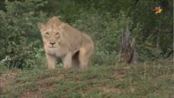 گربه سانان -شیرهای سفید