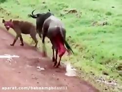 زنده خواری وحشتناک گاو وحشی در حال زایمان توسط کفتارها