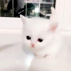 بچه گربه های سفید و خوشگل