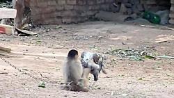 بوس کردن و بازی بچه میمون با خروس لاری