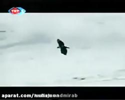 شکار گرگ توسط عقاب طلای...