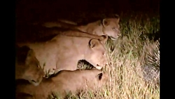 فرار کردن شیرها از جوجه تیغی !!!