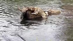 شکار گوزن توسط گرگ