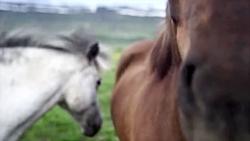 اسب های آزاد _ طبیعت