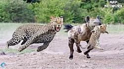 شکار حیوانات وحشی در حی...