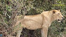 نبرد خونین فیل و شیر بر سر بچه فیل
