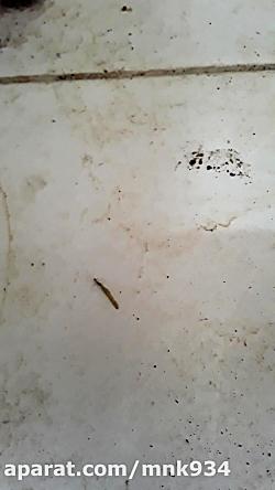 تلاش مورچه برای بردن کِ...