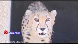 مرگ ۲۰ یوزپلنگ ایرانی در ۱۸ سال گذشته