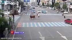 حمله یک گاو به زن موتور...
