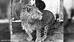حیوانات هیبریدی ( ترکیب...