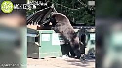 زباله گردی عجیب یک خرس ...