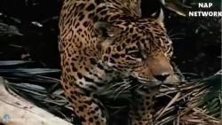 جنگ ونبرد حیوانات وحشی ببر و ماربزرگ