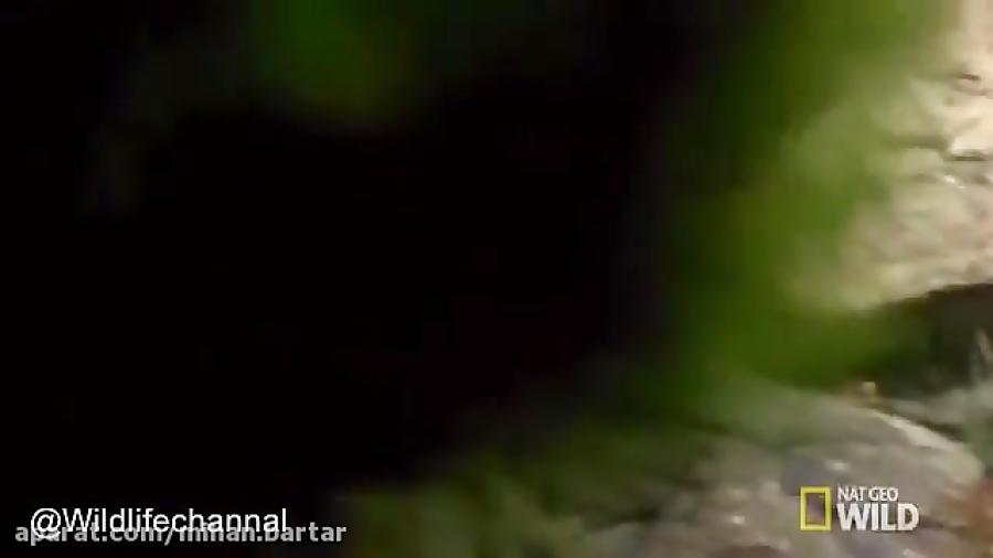 کلیپ دیدنی از توانائی بز کوهی در دفاع از خودش در مقابل شیر کوهی