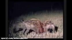 کلیپ زیبا و دیدنی از حمله شیر نر به گله کفتار و نجات جان شیر های ماده
