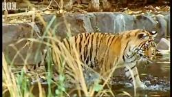 دنیای شگفت انگیز حیوانات - توله ببرهای دوست داشتنی - Cute cubs Tigers