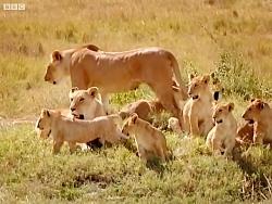 دنیای حیوانات - ماجراجویی در کنار توله شیرها - Adventures with the Lion Cubs