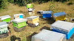 جانشین گرده به روش خشک برای زنبور