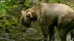 دنیای حیوانات - تمرین توله خرس گریزلی برای ماهیگیری - Grizzly Bear Cubs Fishing