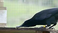 دنیای حیوانات - کلاغ ها راه حل مشکل زباله ها - Crows Ultimate Problem Solvers