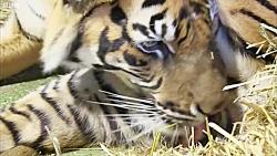 دنیای حیوانات - تولد توله ببرهای دوقلو - Birth of Twin Tiger Cubs