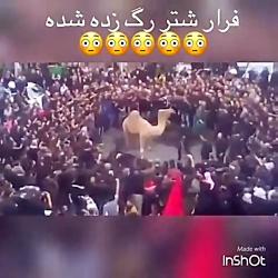 فرار شتر که رگ زده شده  و حمله به جمعیت