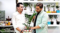 گل زامفولیا در گل فروشی پریناز(باشید)